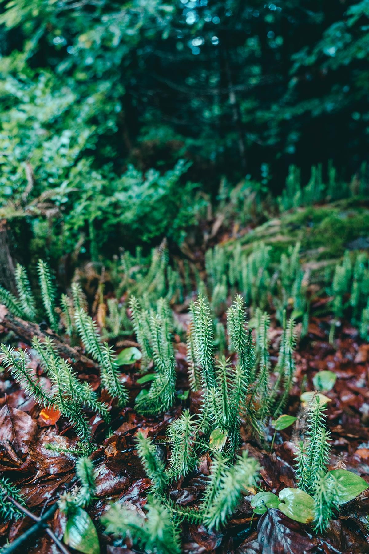 nationalpark-sagwasserklause-baerlapp-pflanzen