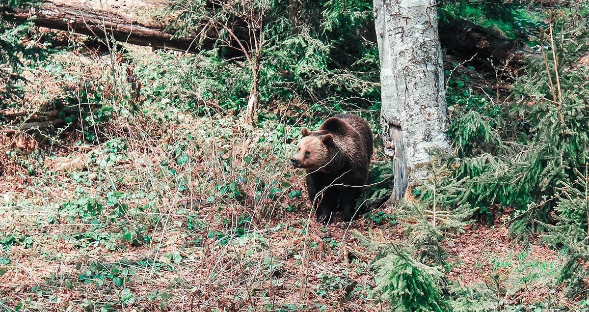 nationalpark-bayerischer-wald-baer