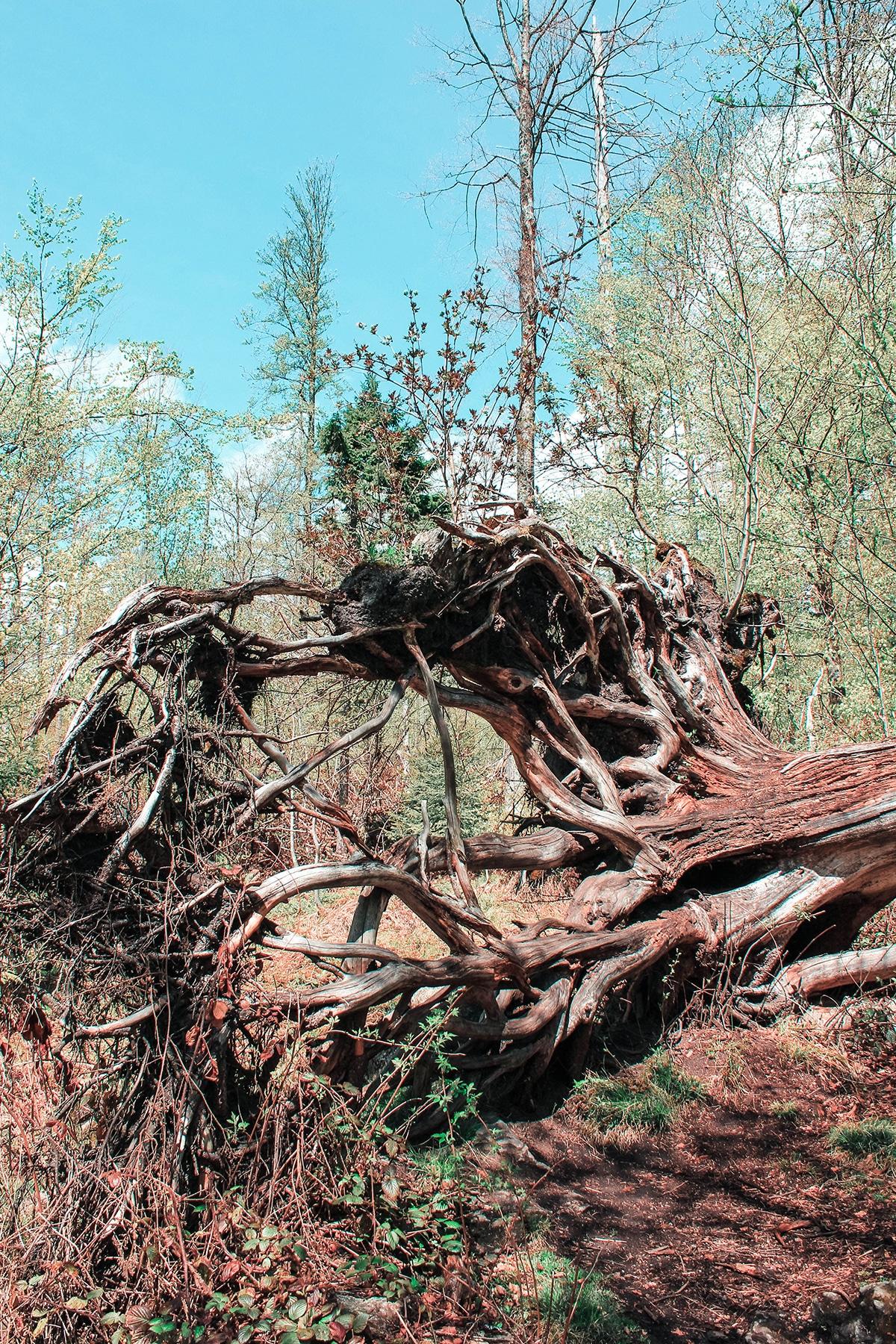 nationalpark-bayerischer-wald-baumwurzeln