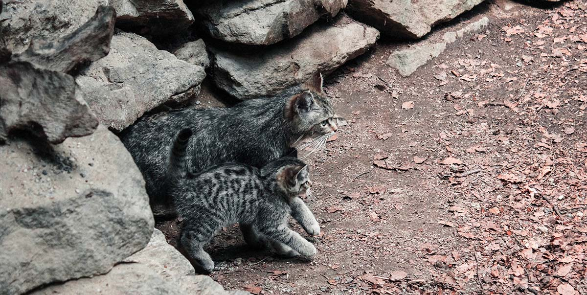 nationalpark-bayerischer-wald-wildkatzen