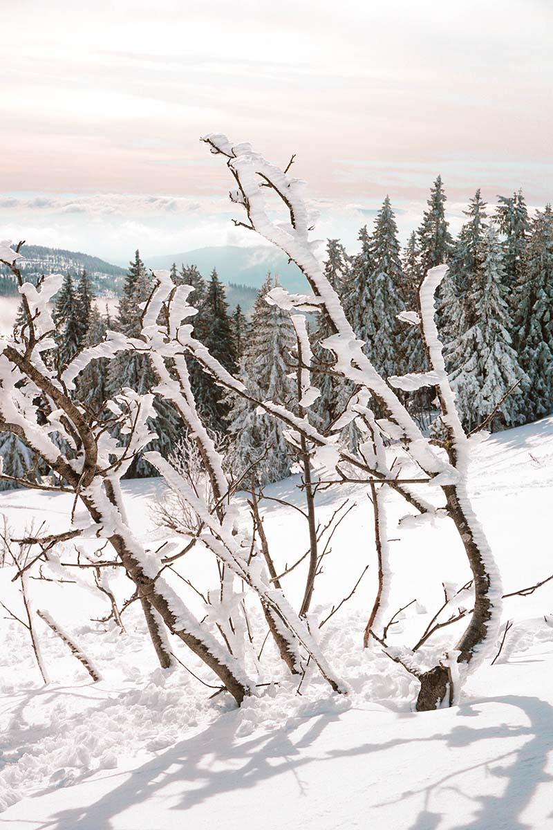 schneeschuhwanderung-arber-verschneite-strauecher-01