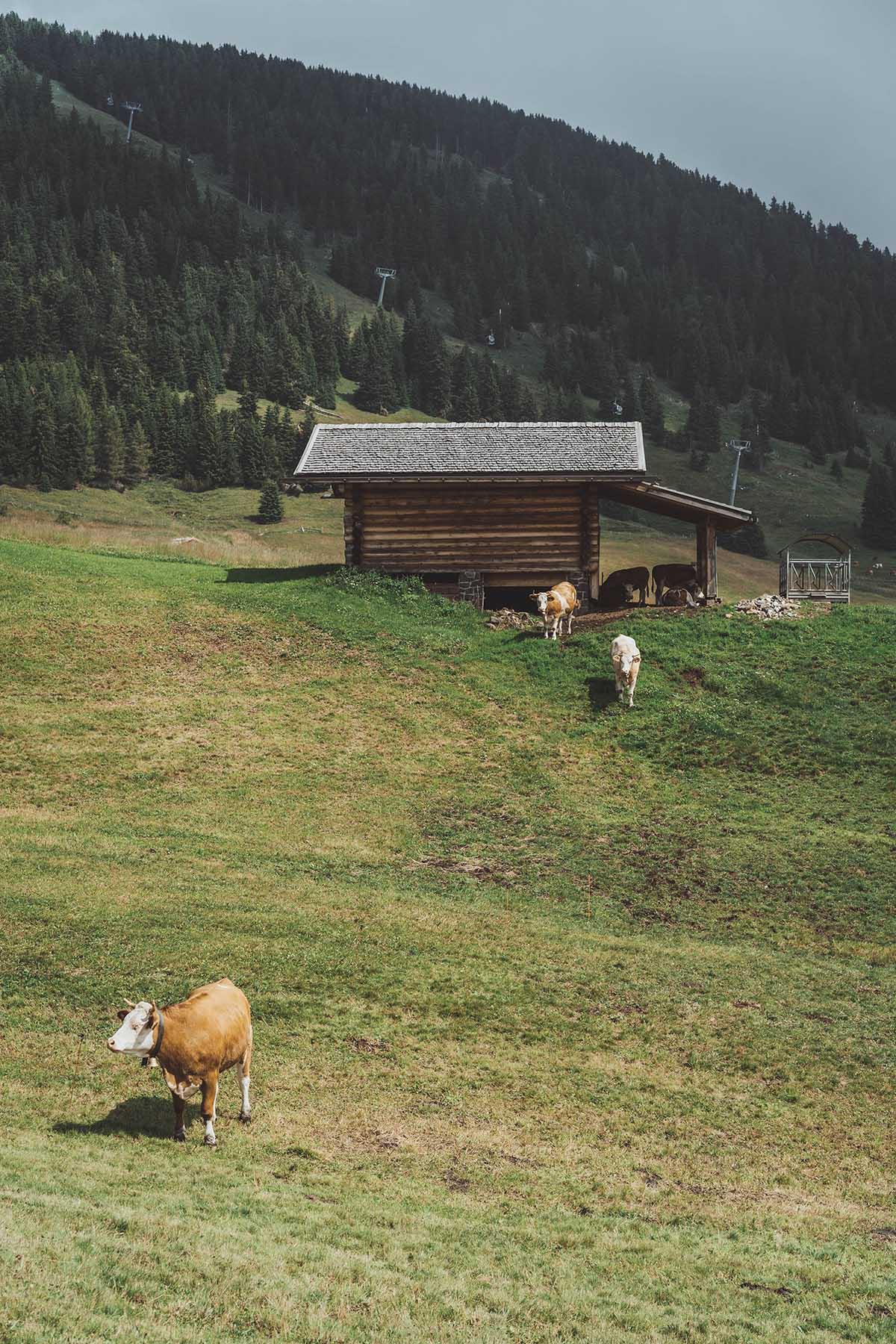 ausflugsziele-wandern-dolomiten-suedtirol-seiser-alm-kuehe