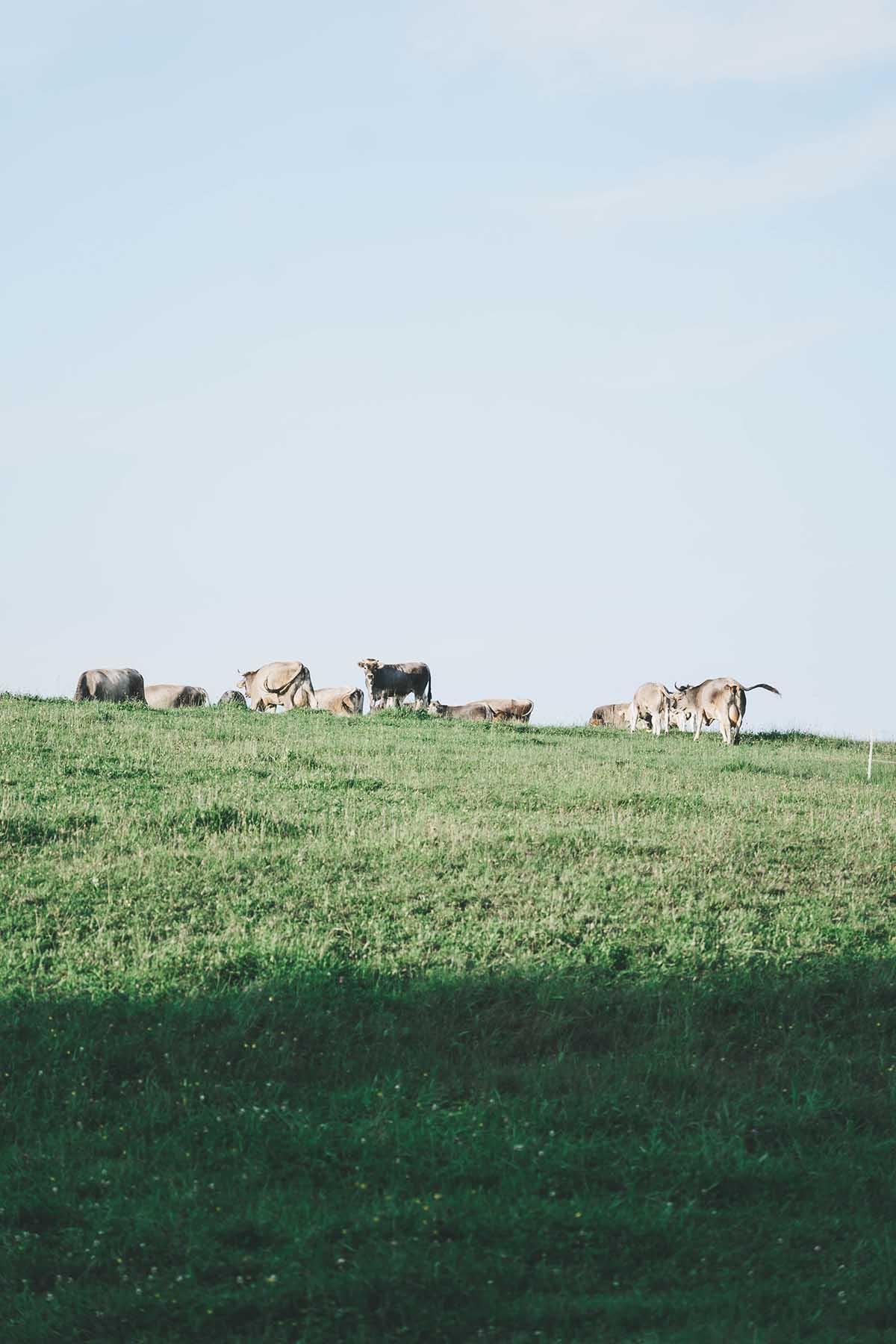 wandern-donausteig-schloegener-schlinge-kuehe
